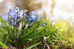 Luz solar e raios na primeira flor do azul na mola Fotos de Stock