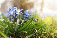 Luz solar e raios na primeira flor do azul na mola Imagem de Stock Royalty Free