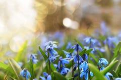 Luz solar e raios na primeira flor do azul na mola Imagem de Stock