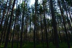 Luz solar em uma tampa da floresta em uma floresta do pinho no alvorecer Fotografia de Stock Royalty Free