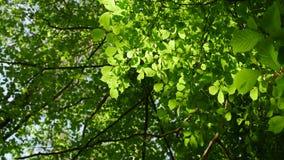 A luz solar faz sua maneira através das folhas das árvores Brilho solar em uma floresta densa filme