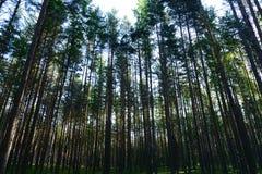 Luz solar fraca de uma manhã do início do verão em uma floresta do pinho Fotos de Stock Royalty Free