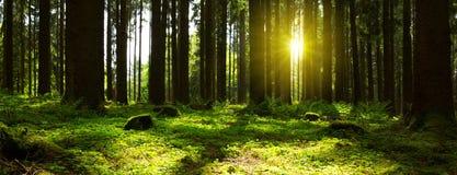 Luz solar na floresta Imagens de Stock