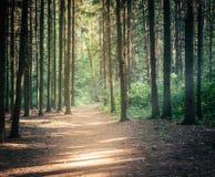 Luz solar na floresta conífera verde Foto de Stock