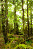 Luz solar na floresta do pinho Imagem de Stock Royalty Free