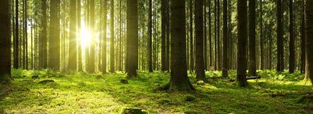 Luz solar na floresta verde Imagens de Stock Royalty Free