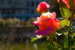 Luz solar na rosa bonita cor-de-rosa fotos de stock royalty free
