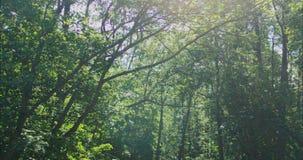 Luz solar na Suécia do verão da floresta filme