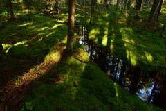 Luz solar na vegetação rasteira da floresta da floresta do musgo nos bancos de The Creek Imagens de Stock Royalty Free