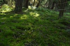 Luz solar no assoalho da floresta da tampa do musgo os seguintes animais selvagens Imagens de Stock Royalty Free