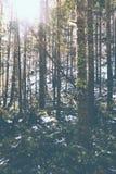 Luz solar que brilha através das árvores finas altas em uma floresta fotografia de stock
