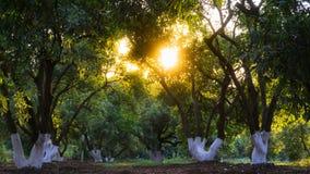 Luz solar que sneaking através das folhas das árvores foto de stock