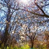A luz solar ramifica flores da mola dos ramos de árvores do sol da luz do sol Fotografia de Stock Royalty Free
