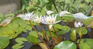 Luz solar roxa da flor das flores de lótus Fotografia de Stock Royalty Free