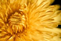 Luz suave ascendente cercana del crecimiento de flor del diente de león Foto de archivo