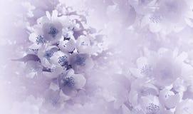 Luz suave - violeta - fondo floral azul Flores de una cereza en un fondo de semitono rosado-blanco Primer Tarjeta de felicitación fotos de archivo