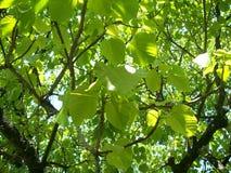 Luz a través de las hojas Imagen de archivo libre de regalías