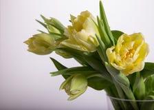 Luz - tulipas amarelas no fundo branco Fundo de Easter Sira de mãe ao dia do ` s, dia de Valentim, dia do ` s das mulheres Fotografia de Stock