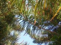 Luz verde da árvore - céu azul Fotos de Stock