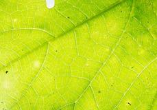 Luz verde de la parte posterior del fondo de la hoja Imagen de archivo libre de regalías