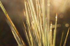 Luz y falta de definición abstractas del oro del tiempo de mañana del grupo de la hierba del primer del fondo Foto de archivo libre de regalías