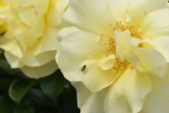 Luz y rosas amarillas oscuras en la plena floración con un modelo de centro sazonado con pimienta Fotografía de archivo