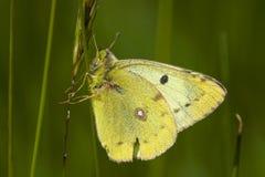 Luzernevlinder de Gele, Pale Clouded Yellow, hyale de Colias images libres de droits