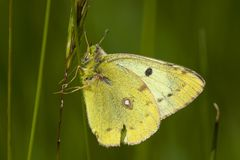 Luzernevlinder de Gele, Pale Clouded Yellow, hyale de Colias imagens de stock royalty free