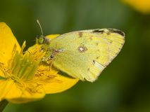 Luzernevlinder de Gele, Pale Clouded Yellow, hyale de Colias photographie stock