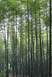 Luzhou City, Sichuan bamboo scenery Beacon Hill Royalty Free Stock Image