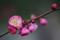 Luzhou City, Sichuan Province, plum blossom Royalty Free Stock Photo