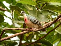 A Luzon Bleeding Heart Dove Stock Image