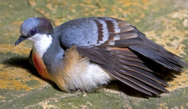 Luzon bleeding-heart pigeon 1 Stock Photography