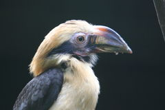 Luzon hornbill Stock Photography