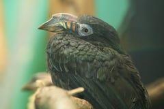 Luzon hornbill Royalty Free Stock Photos