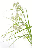 Luzula Nivea grass Royalty Free Stock Photo