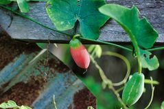 Lvy金瓜或Coccinia果子 免版税库存图片