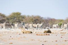 Lwów łgarski puszek na ziemi Zebry defocused chodzący niezakłócony w tle Przyroda safari w Etosha obywatela Pa Fotografia Stock