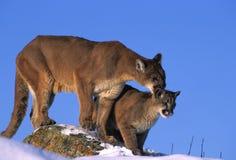 lwów góry skała Obraz Royalty Free
