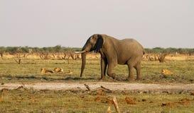 Lwów lisiątek stojak - daleko z dużym byka słoniem Zdjęcia Stock