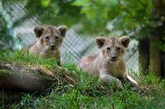 Lwów lisiątka od Paignton zoo fotografia stock