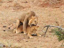 Lwów matować Fotografia Stock