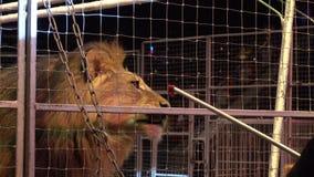Lwa łasowania mięso podczas cyrkowego występu zdjęcie wideo