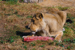 Lwa żeński łasowanie Zdjęcie Stock