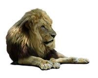 lwa afrykańskiego Fotografia Stock