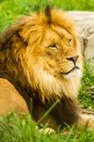 lwa afrykańskiego fotografia royalty free