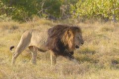 lwa afrykański odprowadzenie Zdjęcia Royalty Free