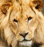 lwa afrykańskiego Zdjęcie Royalty Free