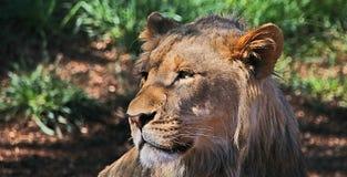 lwa afrykańskiego Obraz Royalty Free