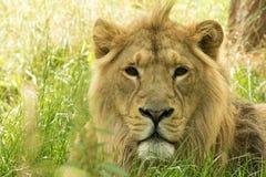 lwa afrykańskiego Obrazy Stock